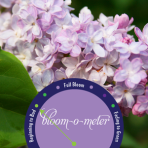 May lilac-bloom