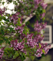 lilac-time-1